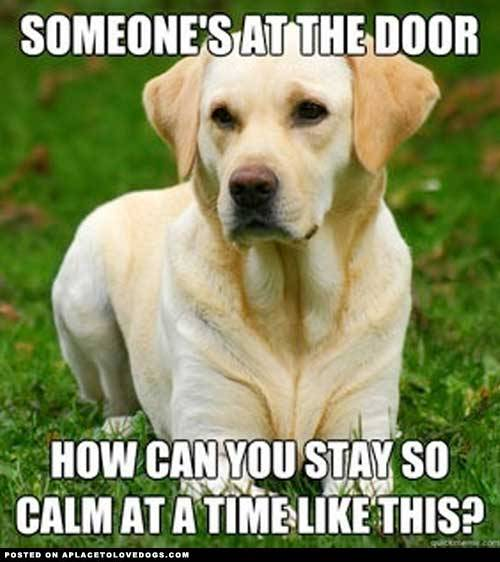 aplacetolovedogs:  pinterest Someone's at the door… how can you stay so calm at a time like this? Original Article