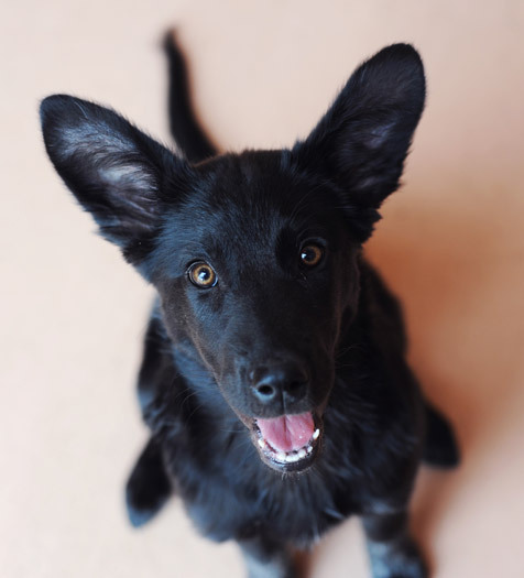 Meet Ibis! An adoptable Shepherd/Heeler mix puppy.
