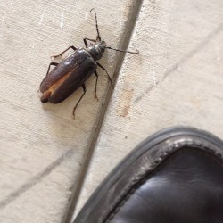 "Palo Verde Beetle. Over 3"" long. #az  (Taken with Instagram)"