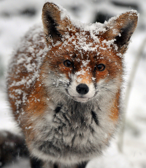 foxes-cauldron:  Awwwh! I can't even jghjkgiligtiyif ♥  cute fox in the snow….