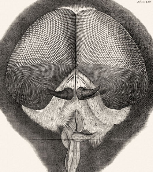 compendium-of-beasts:  Robert Hooke's drawing of a grey dronefly from Micrographia, 1665