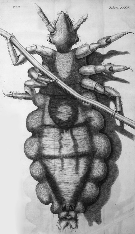compendium-of-beasts:  Robert Hooke's diagram of a louse from Micrographia: or some physiological descriptions of minute bodies made by magnifying glasses : with observations and inquiries thereupon, 1665