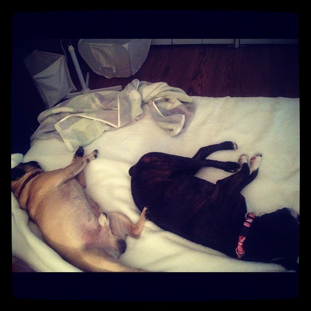 Laying around #bt #bostonterrier #pug #bacon #bruiser (Taken with Instagram)