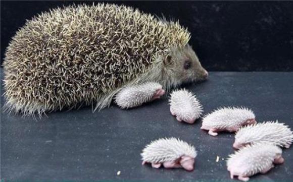 llbwwb:  From The Lsle of Skye via:cutestpaw.Baby Hedgehogs:)