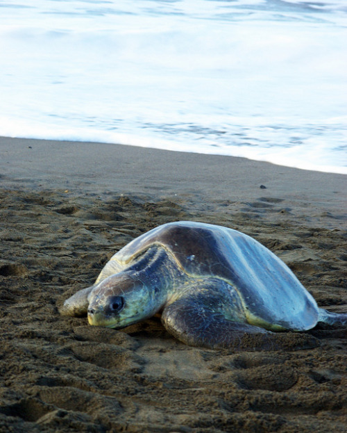 To the Beach by monarchzman on Flickr.Olive Ridley Sea Turtle (Lepidochelys olivacea) returning to the beach of Ostional, Costa Rica to lay eggs for the arribada