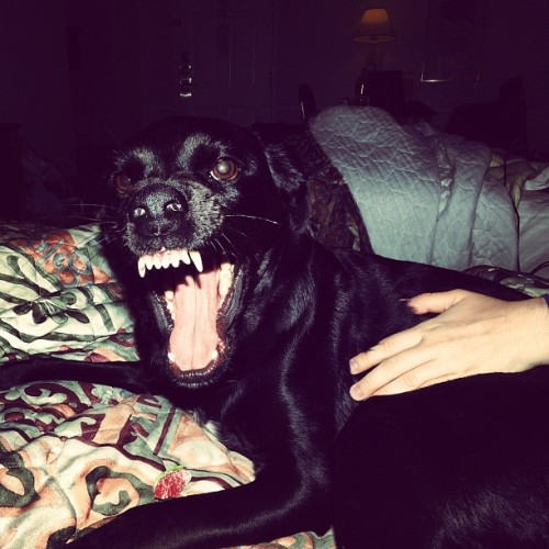 #dog #dogsofinstagram #lola #face #teeth #mouth #funny #lol animal #hotel #room #black #lab #bed (Taken with Instagram)