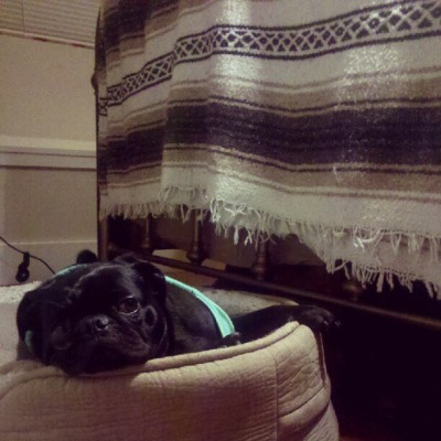 kamanaka:  Chillin' #pug (Taken with Instagram)