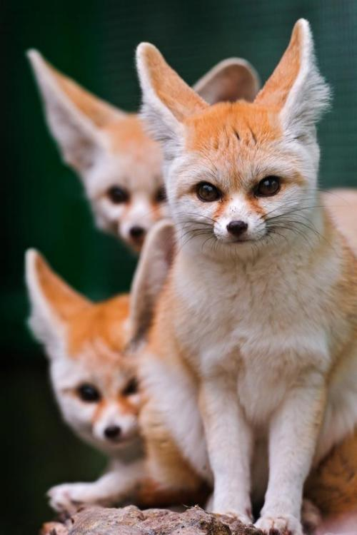 Fennec Fox kits (and no they don't grow into those ears) LOLThe fennec fox is a small nocturnal fox found in the Sahara of North Africa. Its most distinctive feature is its unusually large ears, which serve to dissipate heat. Their coat, ears and kidney functions have adapted to a high-temperature, low-water, desert environment. In addition, its hearing is sensitive enough to hear prey moving underground. It mainly eats insects, small mammals, and birds.Please SHARE our Wildlife and Nature page.https://www.facebook.com/pages/Wild-for-Wildlife-and-Nature/279792438707552