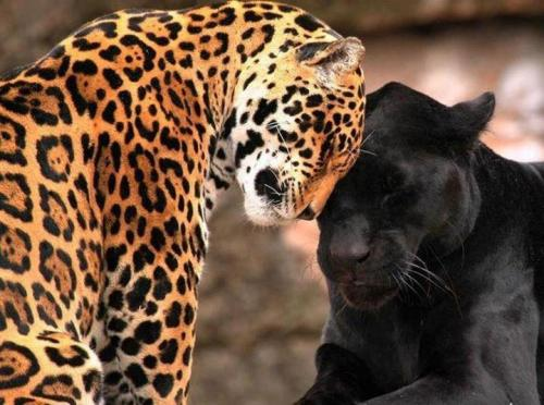 animalgazing:  ♥ ♥ ♥LeopardsPlease SHARE our Wildlife and Nature page.https://www.facebook.com/pages/Wild-for-Wildlife-and-Nature/279792438707552