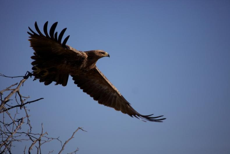 The majestic tawny eagle. Stunning Selinda, Botswana's wild reserve: a photo gallery by David Murray