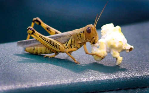 allcreatures:   A grasshopper chomps on a piece of popcorn which had been dropped by a fan watching baseball at the Rangers Ballpark in Arlington, Texas  Picture: MCT /Landov / Barcroft Media (via Pictures of the day: 19 July 2012 - Telegraph)  Just adorable.