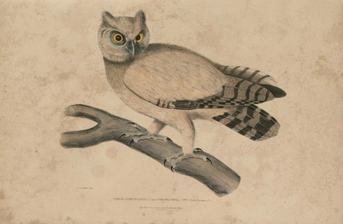 fey-bear:  Coromandel Owl, Strix Coromandra - Illustrations of Indian Zoology (1830-35)