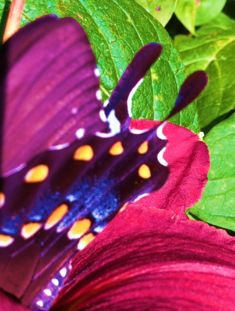 Butterfly  In frame You land, radiant colors in Blue Unaware, a breathtaking light And you make me want to fly.  Picture complete.    Photo and Words by Karen Glosser, Property of Karen Glosser Designs