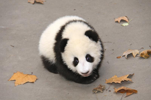 fuckyeahgiantpanda:  Ai Li at the CRBGPB Sunshine Nursery on November 18, 2011. © Jeroen Jacobs.