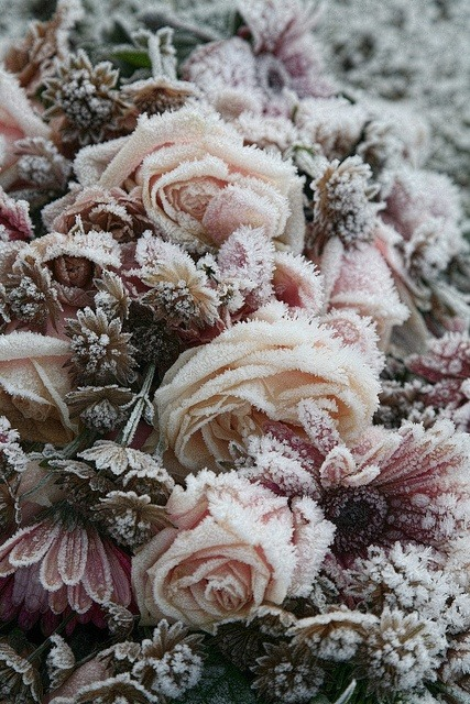 frozen roses by Onkel Ulle (via flickr)
