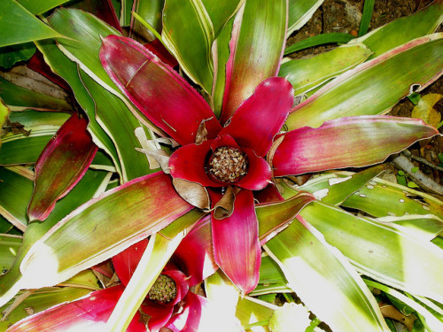 Bromélia riscada by Márcia Valle on Flickr.