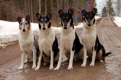 Smooth collie is also something I've been juggling, since it's very similar to Shetland Sheepdog, but a bit more energetic and easier to groom. And I also think that the dog looks beautiful, no matter what the color. I wouldn't mind having a running buddy like this! :) I've also been thinking picking up canicross with my future dog - and I've been thinking about obedience, my future dog permitting. :)
