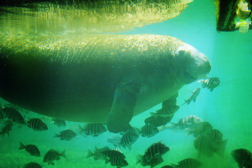 theanimalblog:  Manatee by Renee Louise Anderson