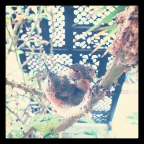 But gladly, the next day (7/17/12), Flash came back to the nest… yaay! Aren't they ADORABLE? 💜 #hummingbird  (Taken with Instagram)