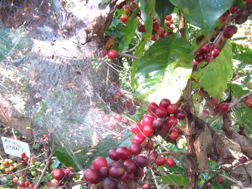 An example of passive organic farming: a spiderweb, nature's pesticide.  The coffee variety is bourbon.