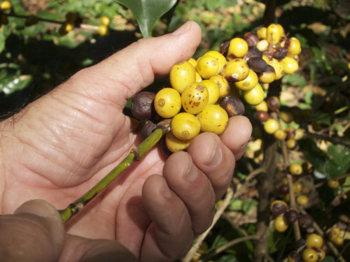Yellow cattura.  It tastes sweeter and more perfumed than bourbon coffee cherries, a little like what yellow raspberries are to red raspberries. It makes sense, as the yellow fruit doesn't have anthocyanin, a pigment (also found in blueberries, blood oranges) that gives the skin its color and the flavor an acidic bite.