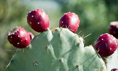 Oh, this little plant? Of course the Prickly Pear Cactus plant is the state plant of Texas. With all it's great benefits, where else would it be?!  Many people haven't even thought that they could eat a cactus and have it taste so good. Well, a cactus fruit that is. You could eat the cactus pad if you wanted to but the fruit tastes so much better. I just recently learned about these fruits and had the fun of eating them for the first time this week. The first thing you'll notice about these little fruits is how deep purple, or magenta, they are. The betalains that the plant contains, which have powerful anti-inflammatory properties, are what give this pear it's red pigment, which is the same for beets as well. These just taste much better! The main benefits that we see from prickly pears is that they promote weight loss and glucose control. These little fruits have been used for years to help combat diabetes and weight gain.  Try these fruits!
