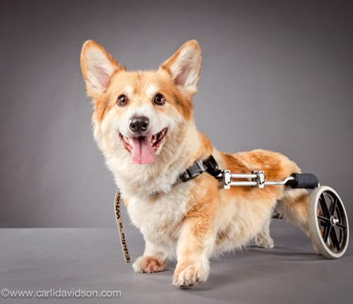 mothernaturenetwork:  Duncan has a spinal disorder that's common in corgis, and he's unable to use his hind legs. Despite his disability, this pup is still extremely active — he throws toys for himself to fetch and loves being rewarded with whipped cream.7 inspiring dogs from the 'Pets With Disabilities' project
