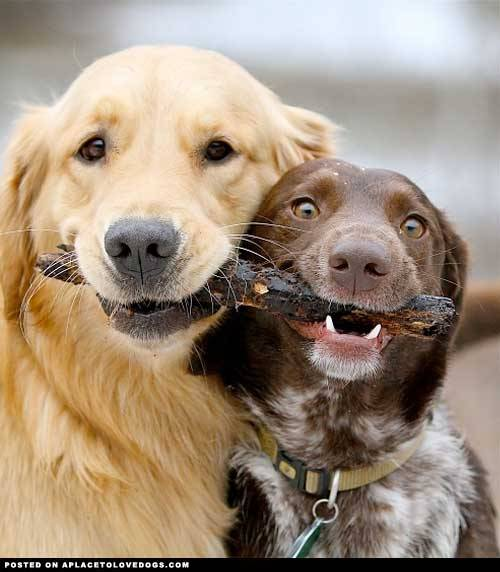 aplacetolovedogs:  pinterest We haz a stick for you and we wanted to give it to you…. together! Original Article