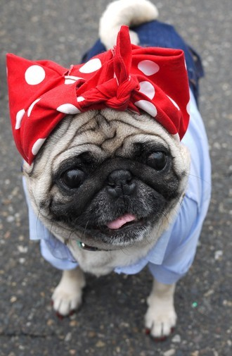 Just found out that Charlotte the Rosie The Riveter pug passed away last week. She had just recently been elected the Vice President of Pug Nation. My heartfelt thoughts are with her family for she will surely be missed. Everyone hug your furry friends a little tighter today.