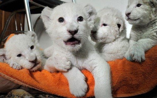 theanimalblog:  White lion cubs are seen during feeding time in the Yalta Zoo in Ukraine. Five white lion cubs were born in the Crimea two weeks ago, three of them in a safari park and two in the Yalta Zoo. They are being brought up together at the Yalta Zoo.Picture: Andrew Lubimov/AP