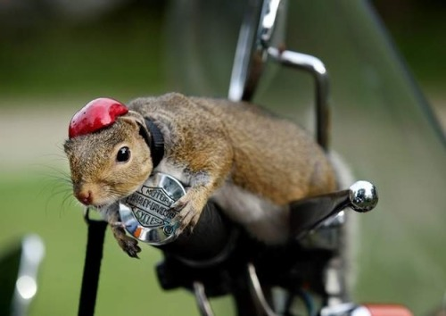 Zipper The Motorcycle-Riding Pet Squirrel