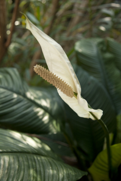 aliciablanchard:  Isle of Hope, GA Big Pink Peace Lily