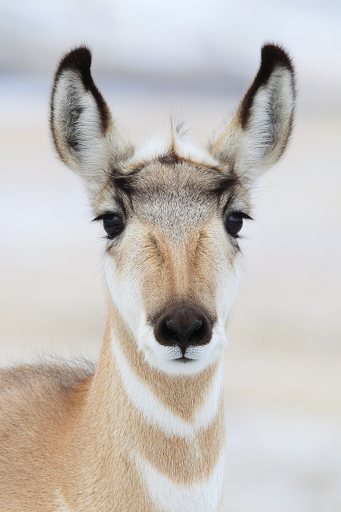 ev0lutionary:  Pronghorn Portrait (by Doug Dance Nature Photography)