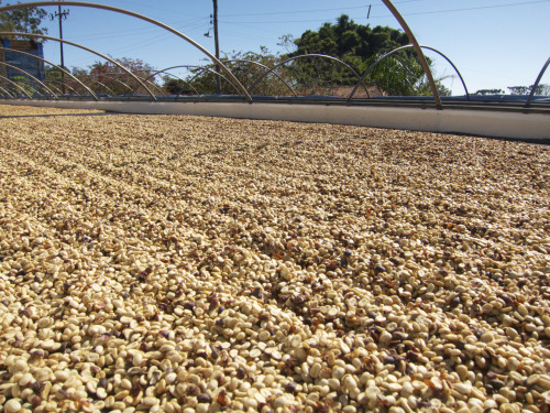 In 2000, Fazenda Ambiental Fortaleza produced 7,000 60-kilo bags of coffee; now it produces about 700 60-kilo bags. That's a 90% reduction, but there's an inverse ratio between productivity and profit. In 2000, Fazenda Ambiental Fortaleza was operating at a loss; today, it's in the black. The math works when the coffee is this good.