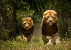big-cat-nation:  Two Male Lions charging.