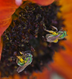 bag213:  Green Iridescent Bee 2  Oh, Agapostemon, I love you and your pollen pants.