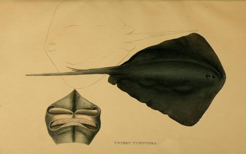 Trygon purpurea now called Pteroplatytrygon violacea - the Pelagic stingray by BioDivLibrary on Flickr. Systematische Beschreibung der Plagiostomen /.Berlin :Veit,1841..biodiversitylibrary.org/page/6353214