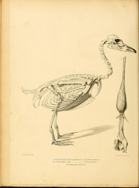 A monograph on the anatidae, or duck tribe by BioDivLibrary on Flickr. London :Longman, Orme, Brown, Green, & Longman … and Eddowes, Shrewsbury,1838..biodiversitylibrary.org/page/36002190