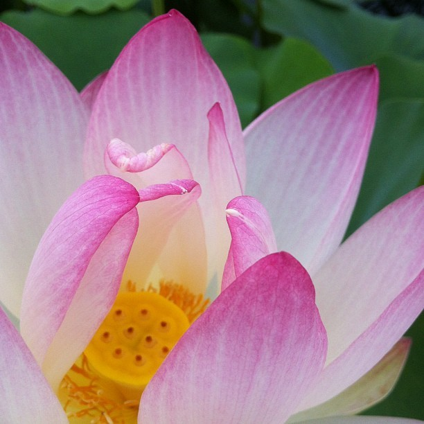 The lotus are so beautiful this year. Monet tried growing lotuses at Giverny, but they failed, so he concentrated on water lilies. ~AR knittinglizzie:  #monetsgarden (Taken with Instagram atMonet's Garden at The New York Botanical Garden)