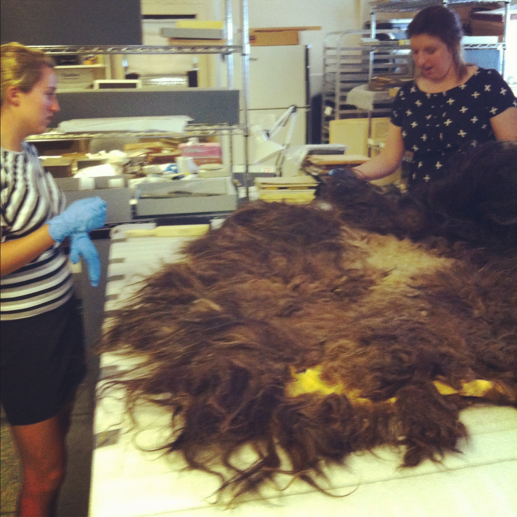 Our student interns are tackling a musk ox hide from the Crocker Land Expedition in the lab right now! This huge hairy thing has to be measured, photographed, and accessioned by Alex and Meg.  …in other words, a totally normal day when you're a summer intern here at the Museum.