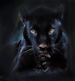 funnywildlife:  A black panther is typically a melanistic color variant of any of several species of larger cat. In Latin America, wild 'black panthers' may be black jaguars; in Asia and Africa, black leopards ; in Asia, possibly the very rare black tigers; and in North America they may be black jaguars or possibly black cougars (Puma concolor – although this has not been proven to have a black variant), or smaller cats. Not certain of which applies to this fella tho :)