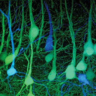 This is an image from a mouse cortex showing neurons expressing proteins from each of its parents in two different colors. Here the mother provided the DNA for the proteins in the blue neurons and the father provided that for the green neurons.   [From the Lichtman lab- found here]