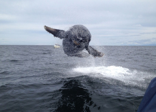 rd67:  Humpback calf jumping out of the water Matthew Thornton: While working as a fishing guide in Tofino, British Columbia I had this humpback calf jump no more than 10 feet away from the boat. On our way in from fishing for halibut we noticed a few humpback whales playing in the distance and we stopped part way in to watch. It was quite an experience to see something completely airborne so close to the boat. The lucky thing was I got the photo I submitted. A fellow boat also got a picture of the whale close to mid air and it was also all caught on video. Was an amazing day. (© Matthew Thornton/National Geographic Traveler Photo Contest)  This is well cool!