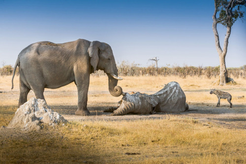 wickedfuzz:  Good Bye Old Friend: Elephants are legendary for their memory and intelligence including attributes associated with grief, making music, altruism and compassion. We came across this elephant whose corpse was overcome by vultures and jackals. From a distance we heard and then saw another elephant approaching at a fast pace. She was successful at chasing away the predators and then very slowly and with much empathy wrapped her trunk around the deceased elephants tusk. She stayed in this position for several hours guarding her friend.(© John Chaney/National Geographic Traveler Photo Contest)