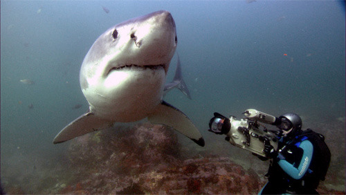 Tom Campbell filming a Great White. Picture by Dennis Coffman.