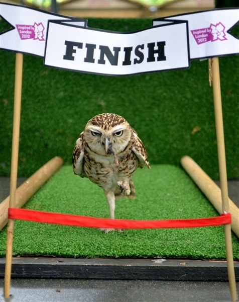 Owl competes in 100 cm sprint at London Zoo The Olympic spirit is up and running at London Zoo on Thursday, as Bob the owl, takes on a 100 cm - yes - 100 cm sprint. Bob was participating in the zoo's daily Animal Athletes in Action and showing off his unique running technique. The six inch tall owl works daily to beat his personal best time his keeper comments. Read the complete story.