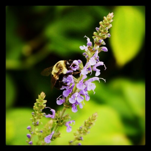 07192012 #Flowers on Campus // Bzzzz // #NYC #Nature #Columbia #Bee (Taken with Instagram at College Walk - Columbia University)