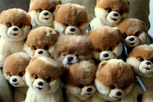 The Fateful Day When Boo The Pomeranian Hid Inside A Pile Of Boos And Then Fell Asleep