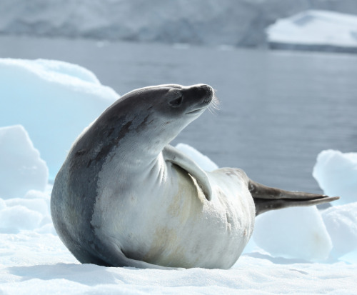 Crabeater Seal in Pléneau Bay, Antarctica (by Liam Quinn)