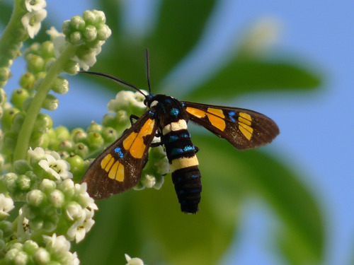 "rhamphotheca:  Diurnal Wasp Moth (Euchromia horsfieldi), Christmas Island, off the coast of Java, Indonesia. - family Arctiidae, ""Tiger Moths"" (photo: John Tann)"